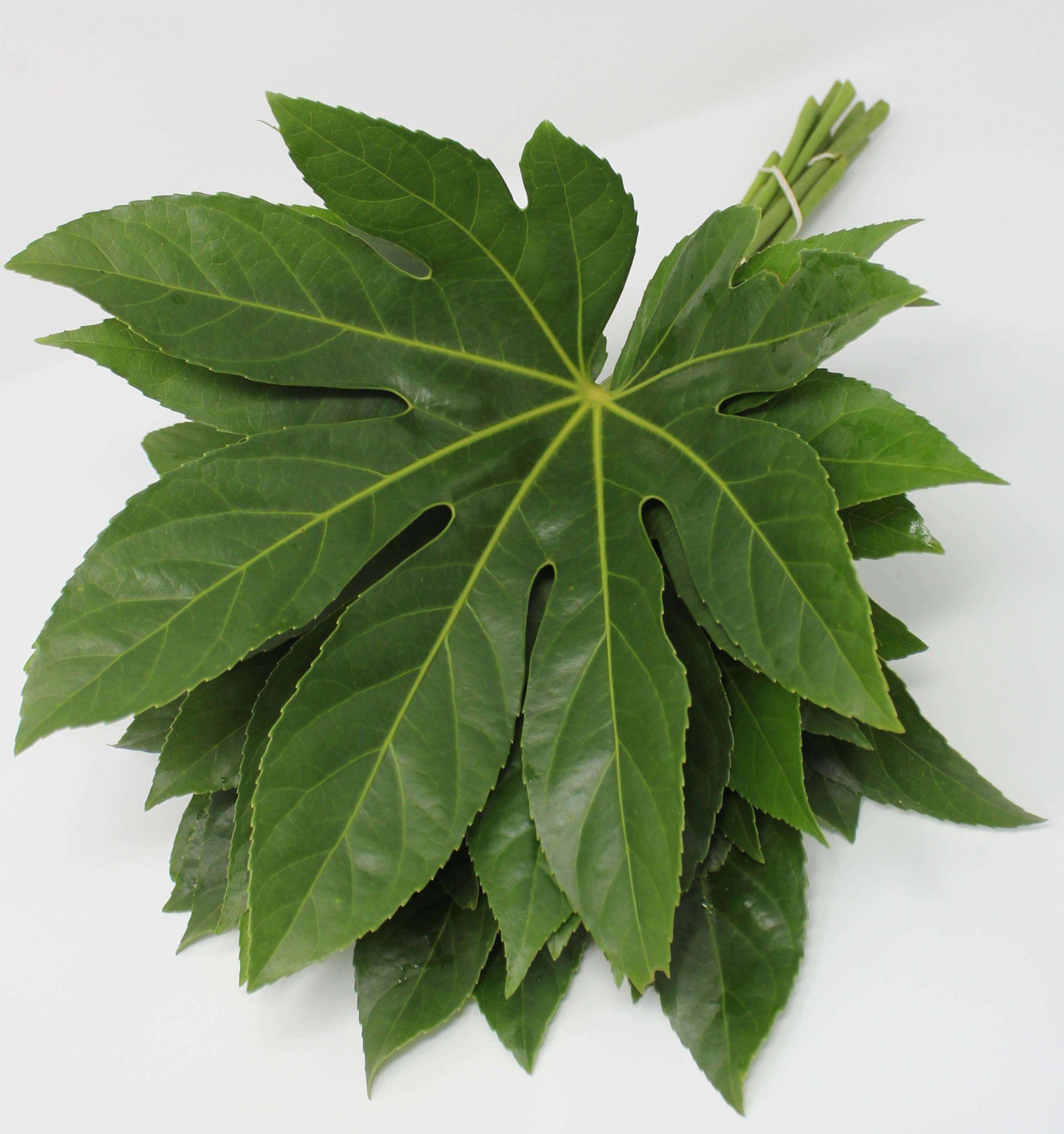 Aralia Green Plant